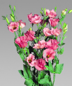 Lisianthus Curly Panther