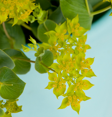 Bupleurum Green gold