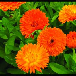 Calendula Ball's orange