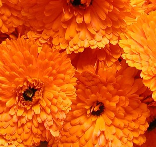 Calendula Maya orange