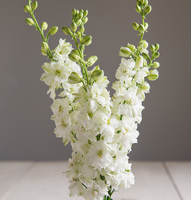 Consolida Sublime white